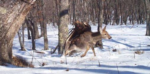 Eagle Picks-Up Deer, True Story