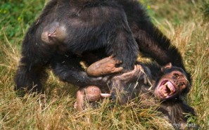 Chimps Love To Murder Each Other